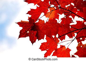 arce rojo, hojas
