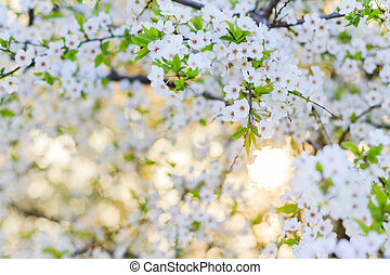 arch of flowers of cherry wood in the morning light