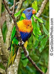 arcobaleno lorikeet