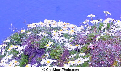 Large daisies on guano of seabirds of Novaya Zemlya archipelago. Flight and cries of birds background of blue sea