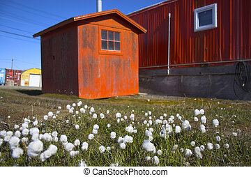 Arctic flowers on the background of orange buildings
