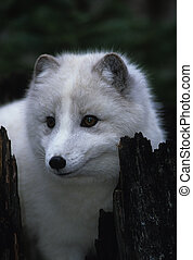 an arctic fox in white winter coat