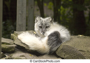 Arctic Fox - Arctic fox sunning itself on the rocks