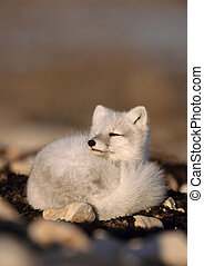 Arctic fox curled up on ground