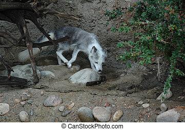 Arctic Fox FA (Vulpes lagopus) - Lives above the Arctic...