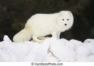 Arctic Fox in deep white snow viewed from the side