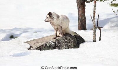 arctic fox in mating season
