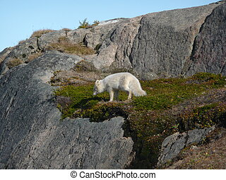arctic fox in tasiilaq, greenland