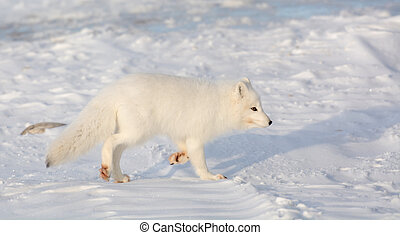 Arctic fox in the snow - An arctic fox searches for food in...