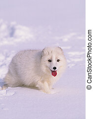 an arctic fox in snow with its white winter coat blending in