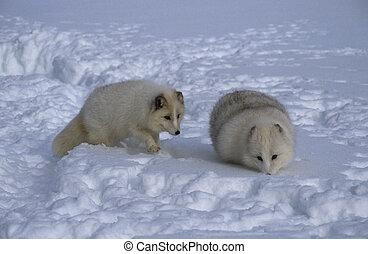 arctic foxes in snow with its white winter coat blending in