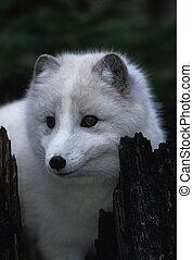 Arctic Fox - an arctic fox in white winter coat