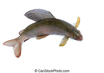 Arctic grayling or trout on white isolated background
