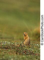 Arctic Ground Squirrel - an arctic ground squirrel in...