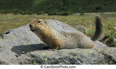 Arctic ground squirrel eating seeds on rock. Kamchatka. -...