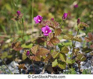 Arctic raspberry flower, arctic brambleberry flower, rubus arcticus. Small plant and pink blossom.