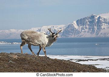 Arctic reindeer on Svalbard shore