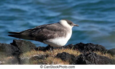 Arctic Skua Bird From Iceland
