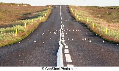 Arctic Tern Flock on the road