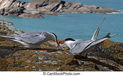 Arctic Tern receiving Catch - A male Arctic Tern passes his...