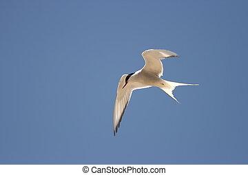 Arctic Tern - Sterna paradisaea - An Arctic Tern with a...
