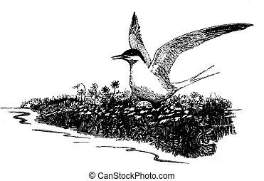 Arctic Tern - Sterna paradisaea - on nest