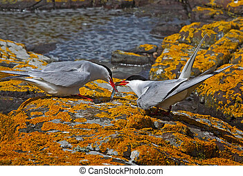 A male Arctic Tern passes his catch to a female, on the Farne Islands in Northumberland, England.
