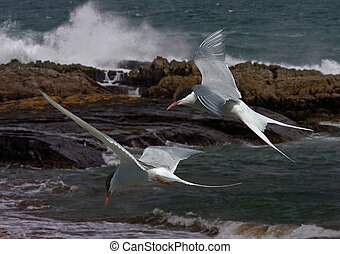 Arctic Terns in flight - Arctic Terns fly allong the...