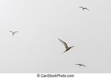 Arctic terns, Sterna paradisaea flying on the Faroe Islands