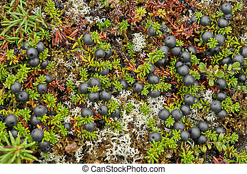 Crowberry berries covered tundra.