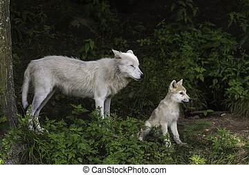 Arctic Wolf and Pup