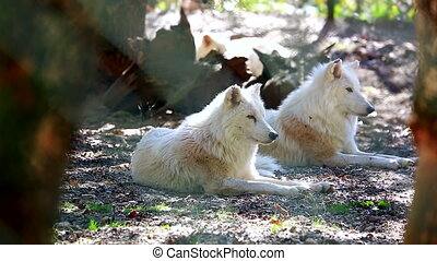 Arctic Wolf Couple (Canis Lupus Arctos) Lying Down On Ground