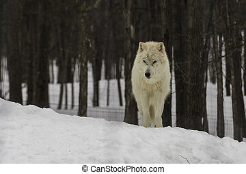 Arctic wolf in forest