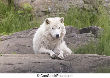 Arctic Wolf in summer