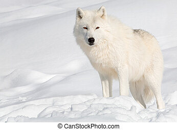 An arctic wolf in the snow is looking at the camera.