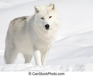 Arctic Wolf in the Snow Looking at the Camera - An arctic ...