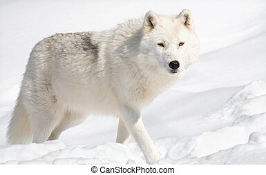 Arctic Wolf in the Snow Looking at the Camera - An arctic...