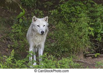 Arctic Wolf in the woods