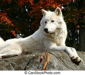 Arctic Wolf Laying on a Rock - On a colorful fall day, an...