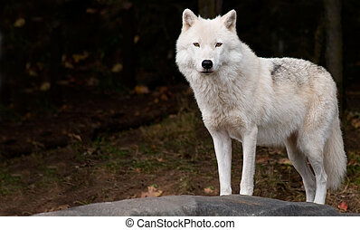 Arctic Wolf Looking at the Camera - An arctic wolf is...