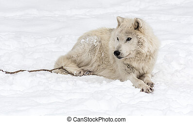 Arctic Wolf Lying on the Snow.