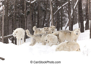 Arctic Wolf pack in winter