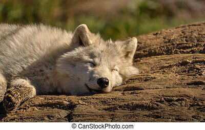 Arctic wolf relaxing in the sun.