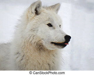 Arctic wolf sticking his tongue out-Stock photos