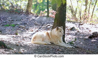 Arctic Wolf (Canis Lupus Arctos) Lying Down On Ground