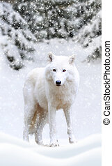 Arctic wolf winter in nature