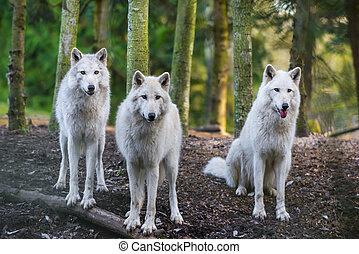 Arctic Wolfs - Three beautiful white wolfs looking directly...