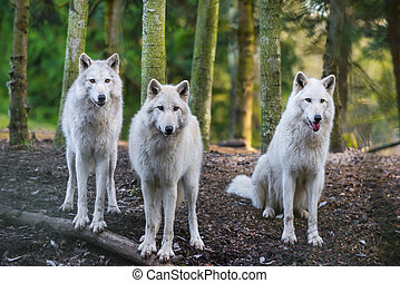 Three beautiful white wolfs looking directly into the camera