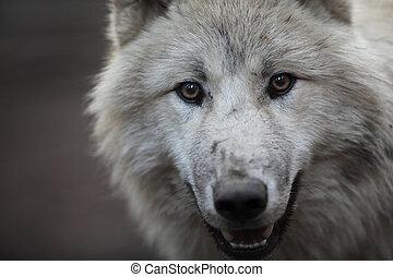 arctos), 北極, lupus, ∥あるいは∥, これ, (canis, 北極である, -, クローズアップ, 捕食動物, 美しい, 狼, 肖像画, 白, aka