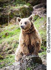 arctos), brązowy, Niedźwiedź,  (ursus